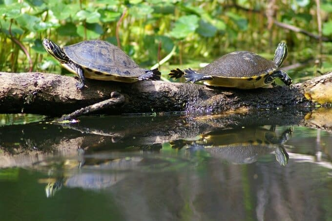 Two Peninsula Cooters facing opposite ways on a log