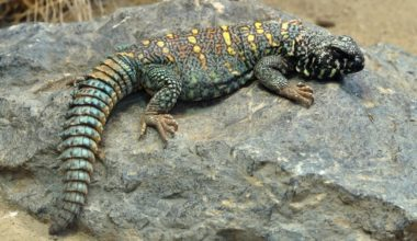 One Uromastyx resting on a rock