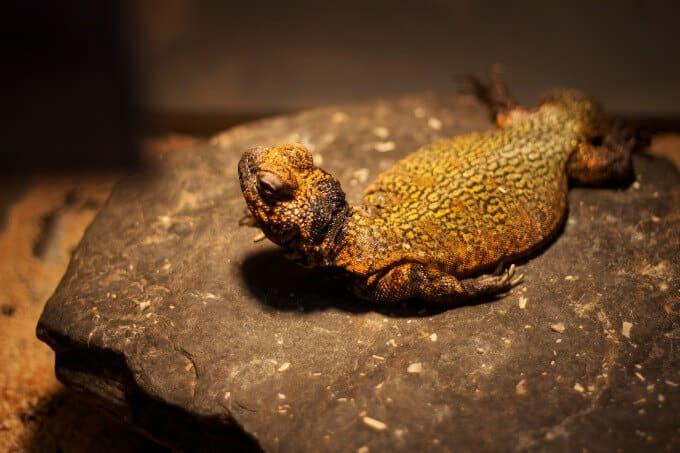 Uromastyx basking on a rock