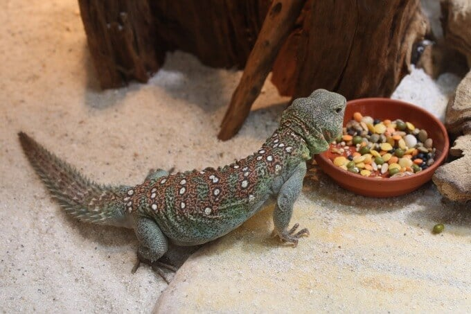A Uromastyx eating a well-balanced diet