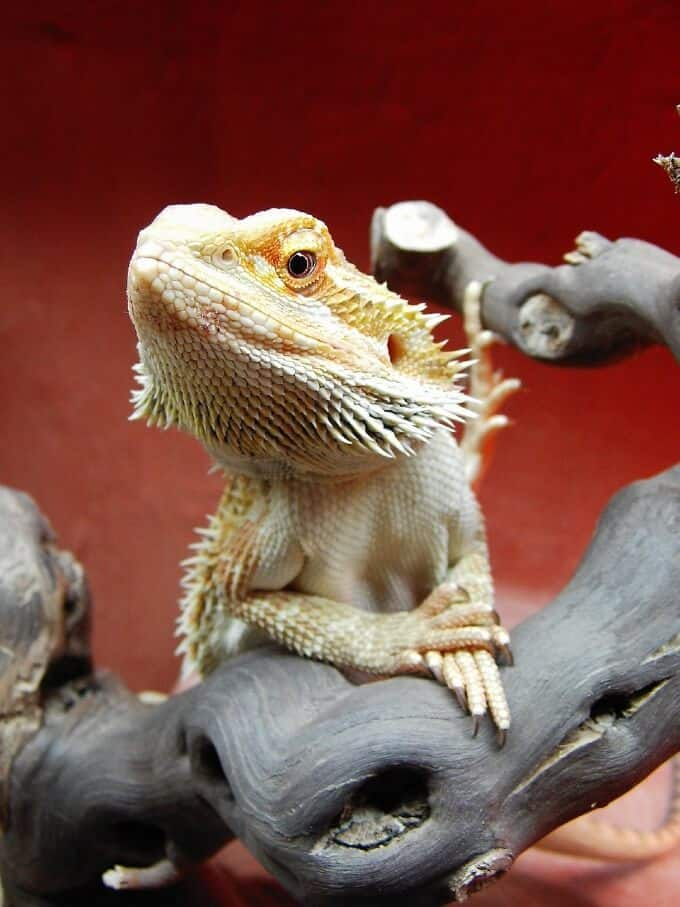 One bearded dragon resting on top of branches in its habitat
