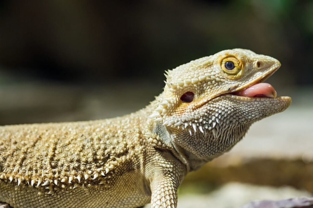 Bearded dragon after eating a cricket