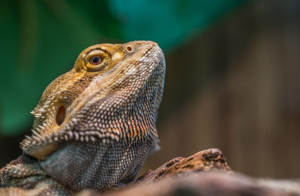 Bearded dragon resting after glass surfing