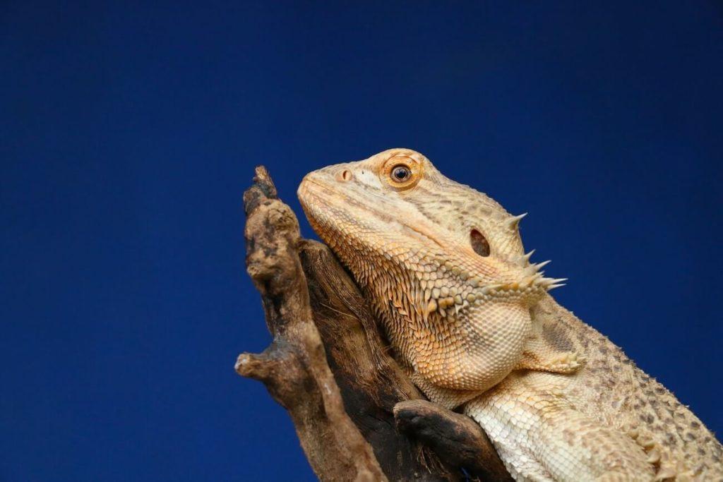 A bearded dragon enjoying the perfect habitat setup