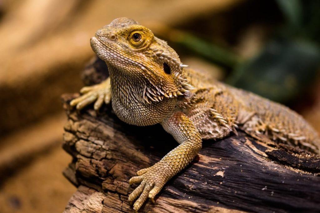 A bearded dragon enjoying proper humidity levels