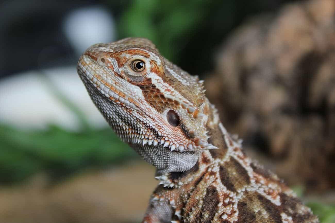 A bearded dragon going through impaction