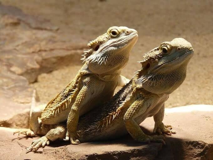 Male or female bearded dragons