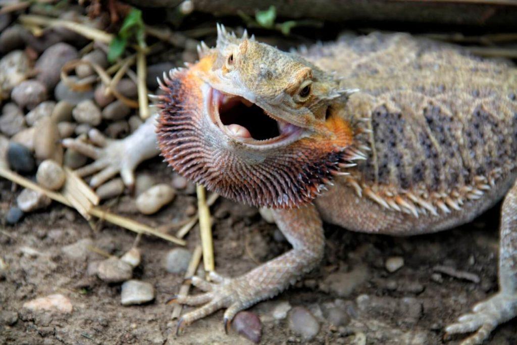 A bearded dragon puffed up