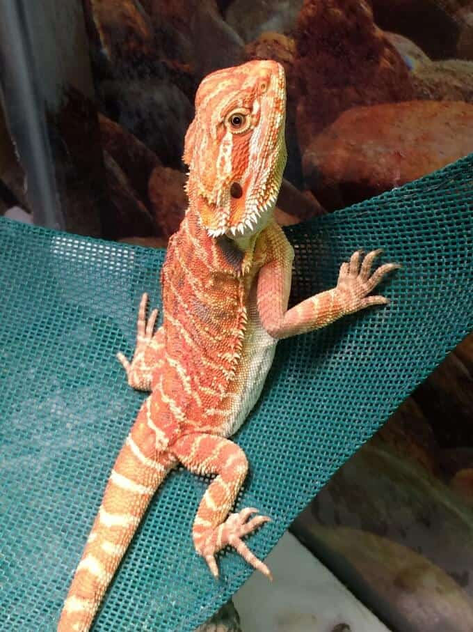 A bearded dragon scratching the glass