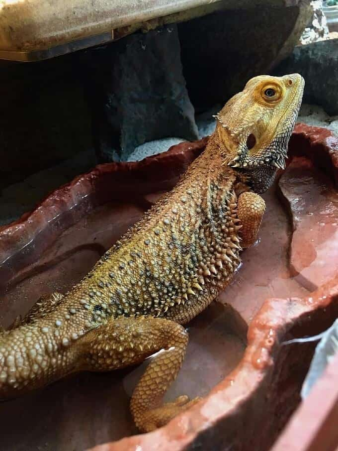An impacted beardie taking a bath