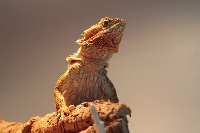 A bearded dragon basking after going through impaction