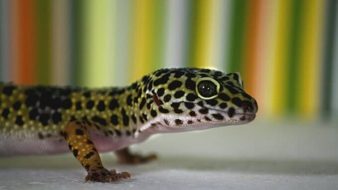 A Leopard Gecko with an uncommon color