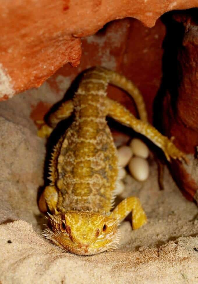 A female bearded dragon with her eggs