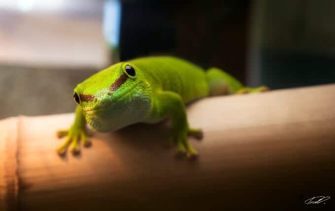 One Giant Day Gecko waiting for food in its habitat