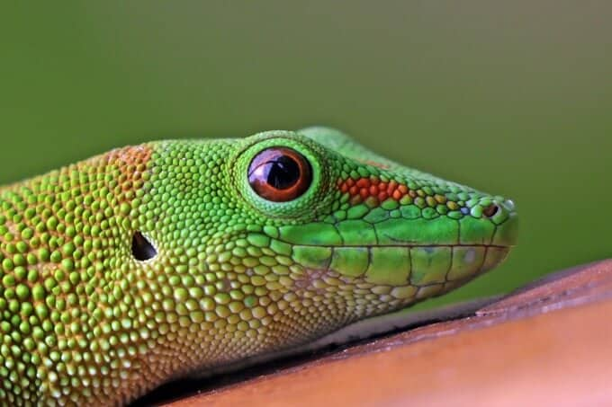 Close up of a Giant Day Gecko