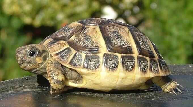 A Hermann's Tortoise basking outside