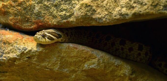 Heterodon nasicus hiding under rocks