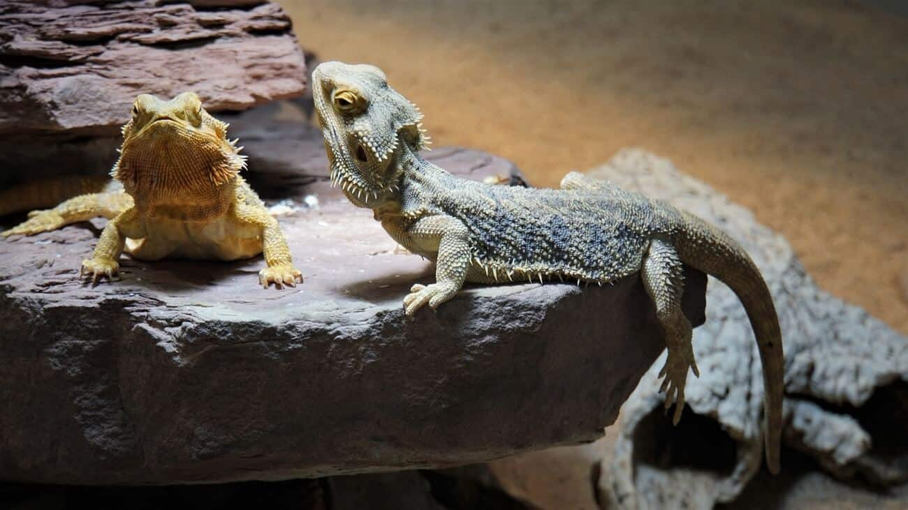 Two bearded dragons that look difficult to accurately sex