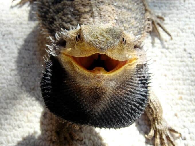 A scared and inflated bearded dragon