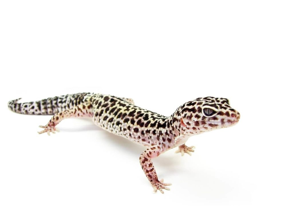 Leopard Gecko standing waiting for food