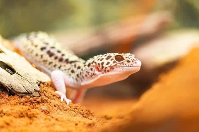 A Leopard Gecko basking inside the perfect tank setup