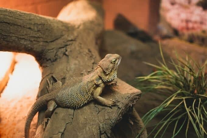 One bearded dragon in a tank with lower humidity levels