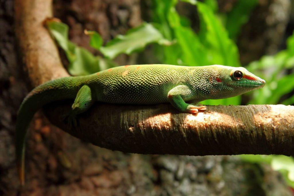 A Madagascar Giant Day Gecko climbing on a branch