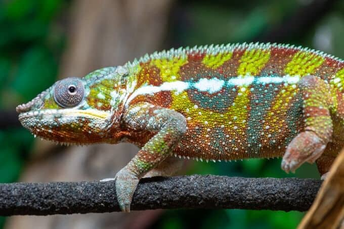 A male Panther Chameleon walking on a branch