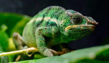 Panther Chameleon resting on a leaf