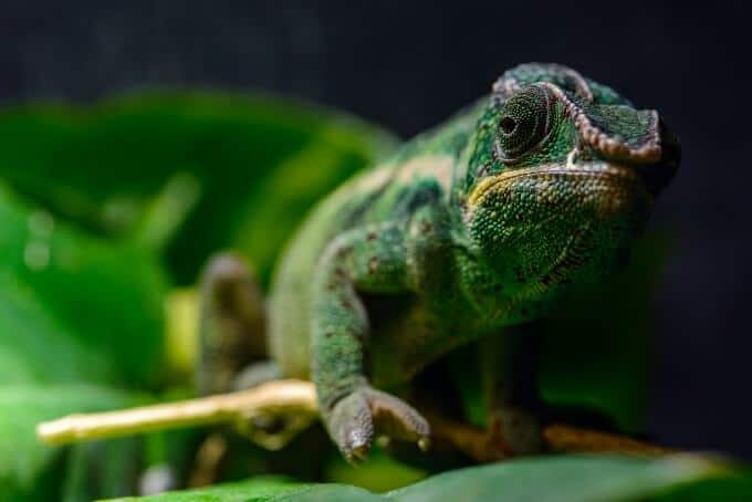 A Panther Chameleon climbing on a plant