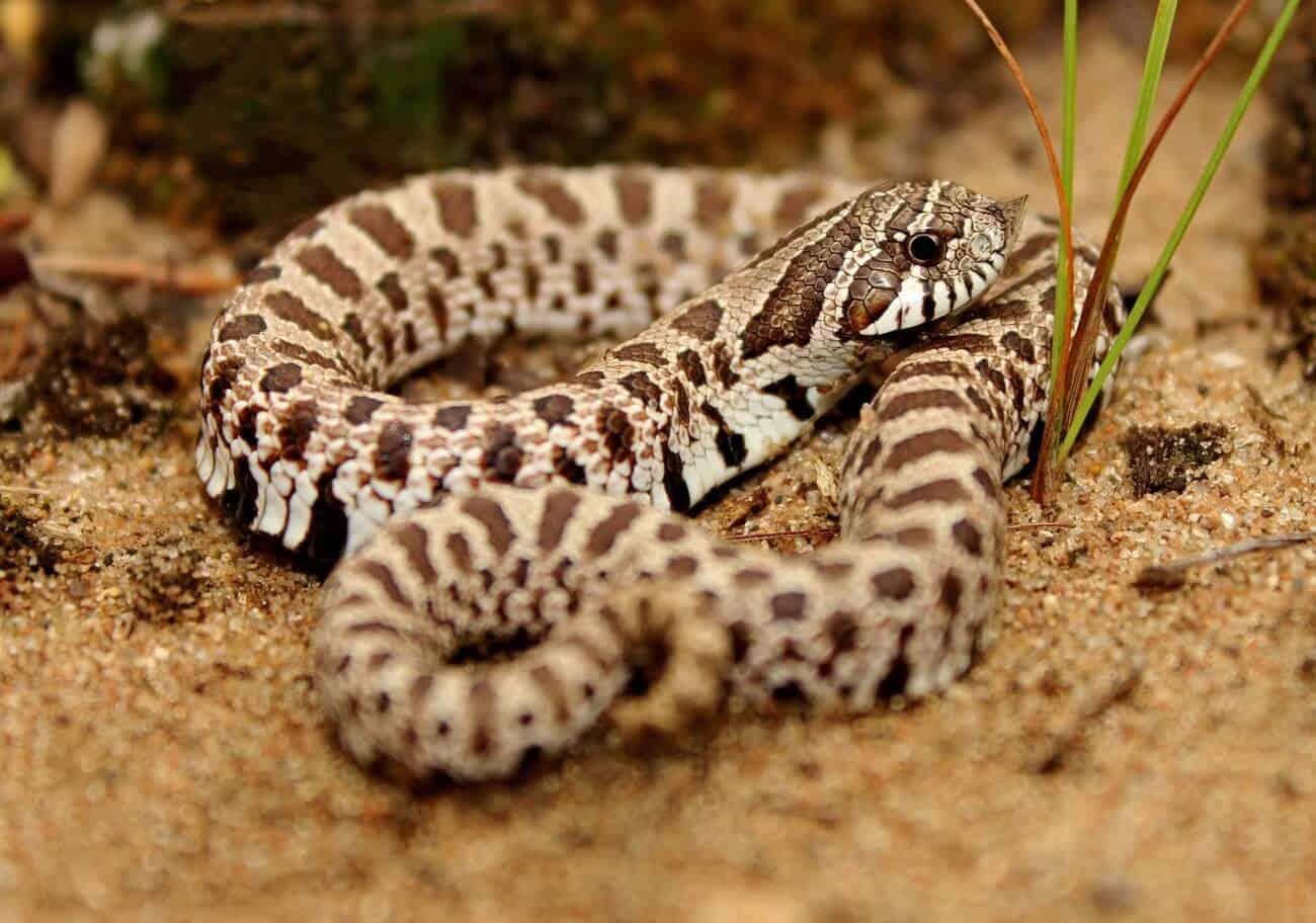 A Western Hognose snake waiting for food