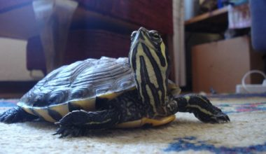 A pet yellow-bellied slider turtle