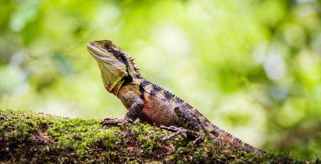 An Australian water dragon warming up on a log