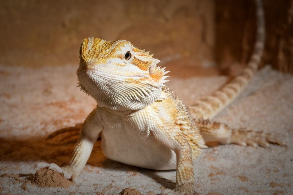 An adult bearded dragon being fed a healthy diet