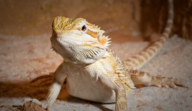 A bearded dragon being fed a healthy diet