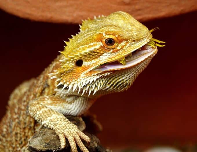 A bearded dragon eating an insect