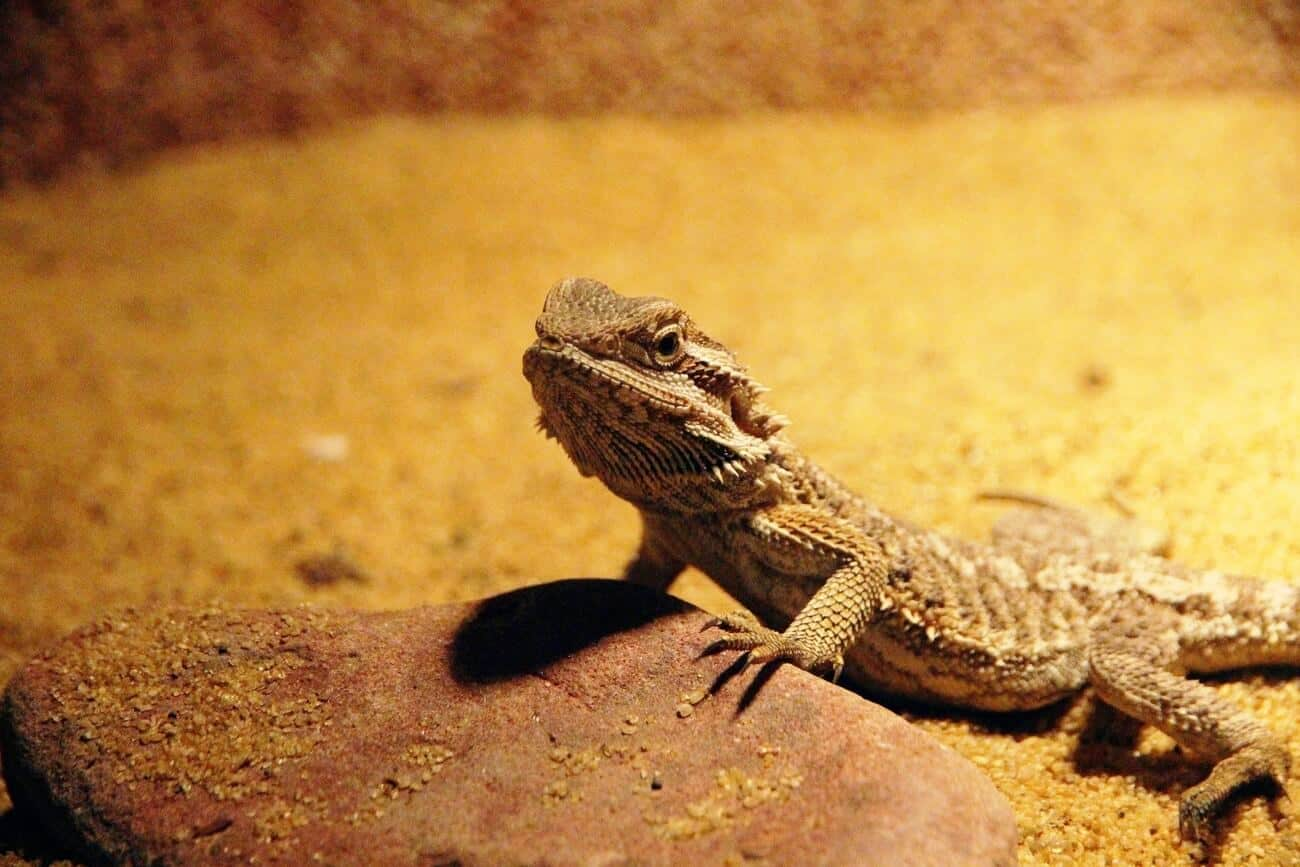 A bearded dragon being a very good pet