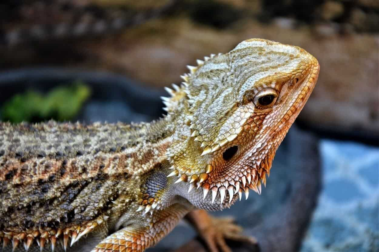 A bearded dragon preparing to bob its head