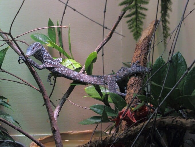 An adult blue tree monitor climbing inside an enclosure