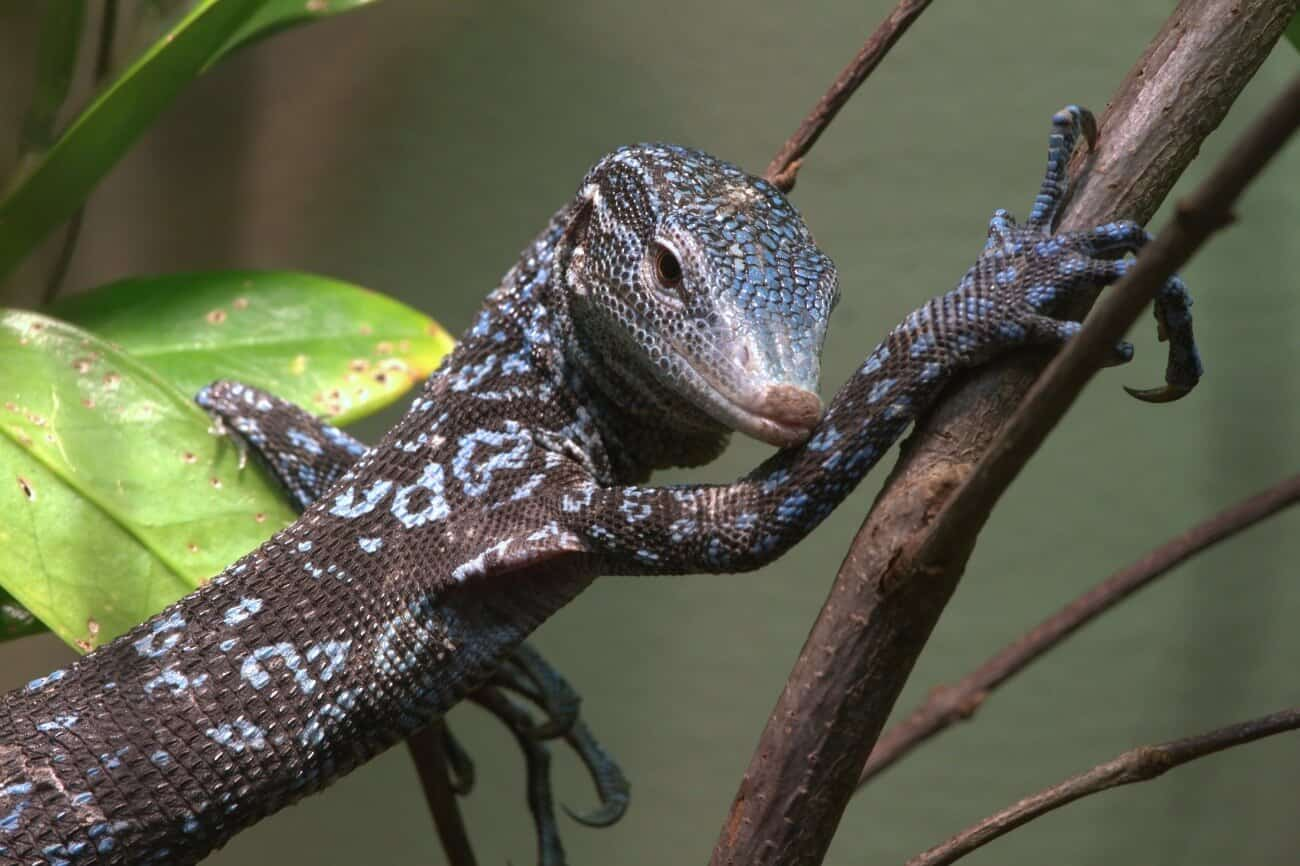 A blue tree monitor resting on a branch