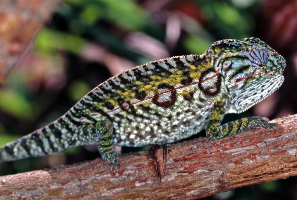 A colorful carpet chameleon on a branch