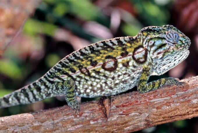 One Carpet Chameleon standing on a tree branch