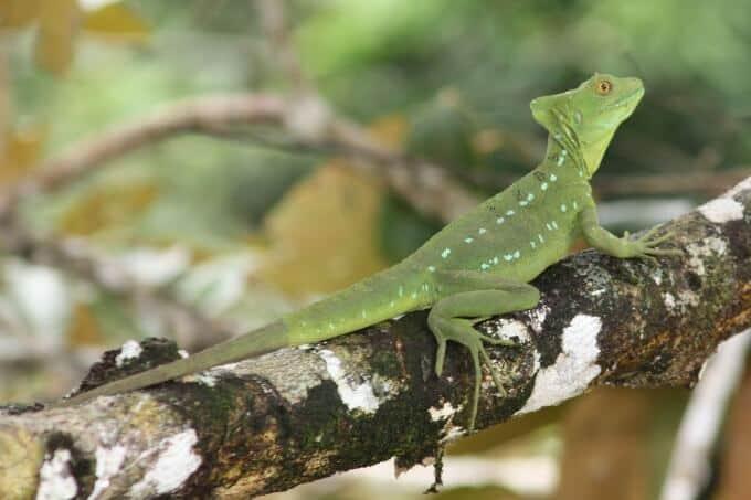 Female green basilisk climbing on a tree branch