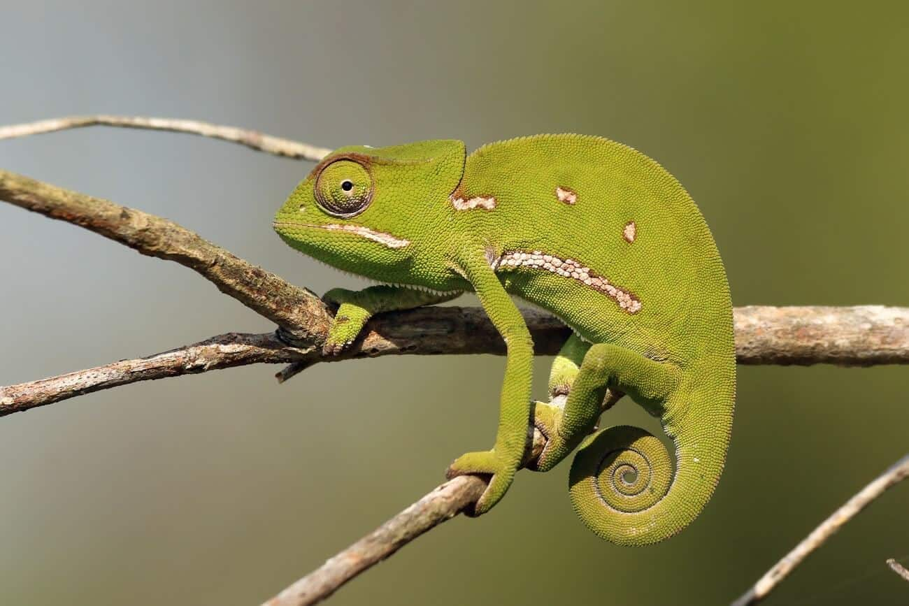 A type of chameleon known as the Flap Necked