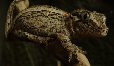 Gargoyle gecko on a tree branch