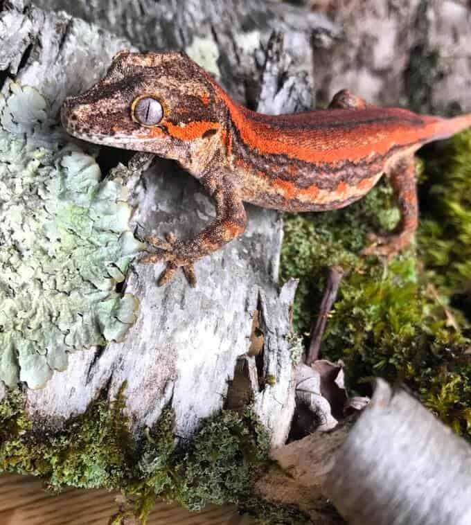 A gargoyle gecko in an indoor habitat
