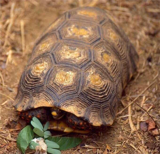 Geochelone carbonaria hiding inside the shell