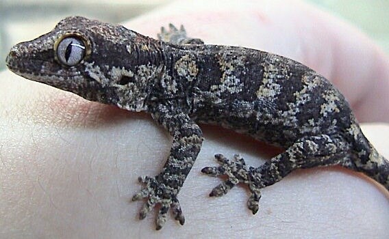 A gray rhacodactylus auriculatus being handled by its owner