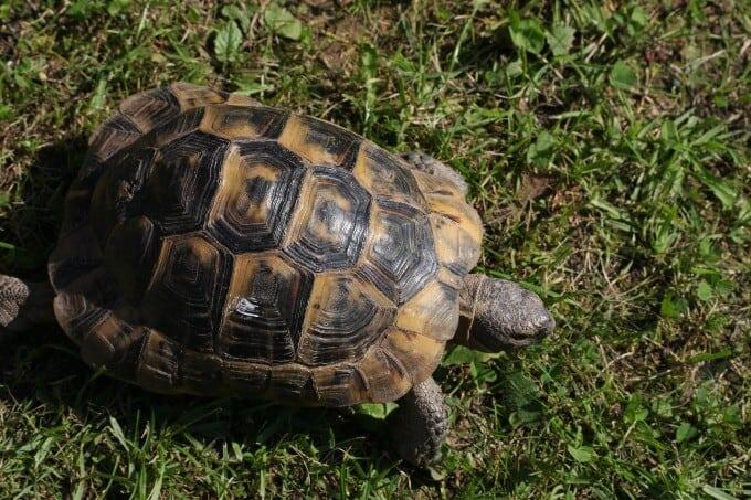 A Greek Tortoise in an enclosure outside
