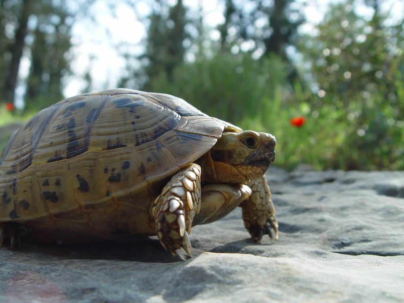 Greek Tortoise looking for food